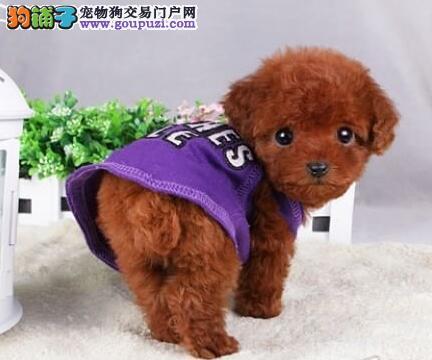 拉萨养殖基地出售优秀韩系泰迪犬 公母都有血统纯正