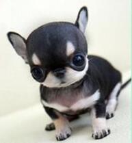 预售优秀苹果头墨西哥血统拉萨吉娃娃 可当面看狗