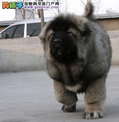 高加索犬/纯种高加索/熊版高加索/俄罗斯高加索