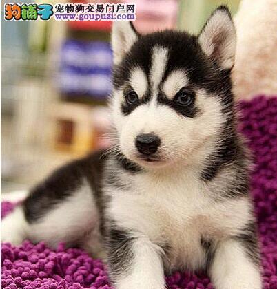 广州市内哪里的狗好 想买条好的哈士奇犬雪橇犬