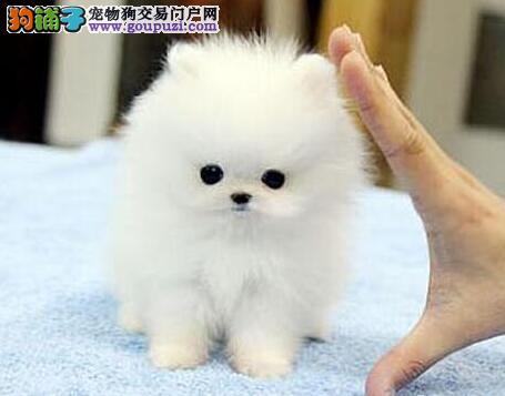 博美犬幼犬出售中,纯度第一价位最低,讲诚信信誉好