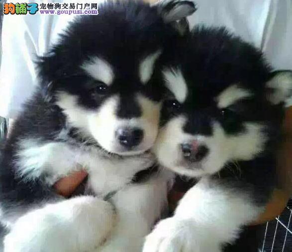银川狗场出售阿拉斯加雪橇犬极地品质超大体型