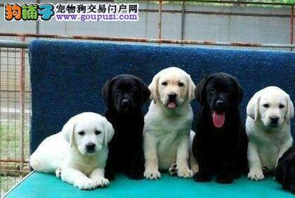 郑州犬舍繁殖出售拉布拉多犬 强壮 灵活 美丽 高贵优雅