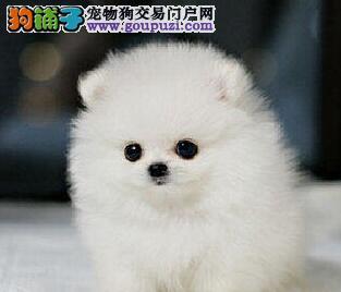 包头专业狗场热销出售顶级优秀纯种哈多利版博美犬
