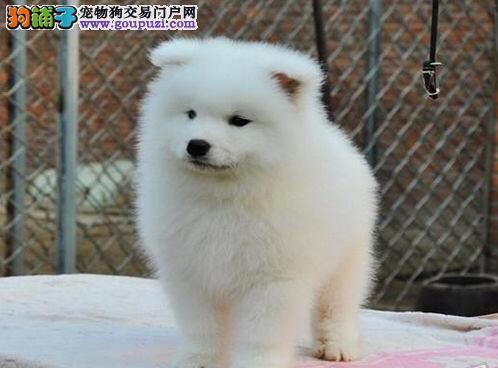 广州狗场促销极品萨摩耶质量保证售后有保证