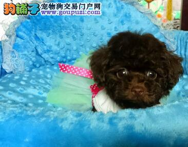 武汉精品高品质泰迪犬幼犬热卖中期待您的来电咨询