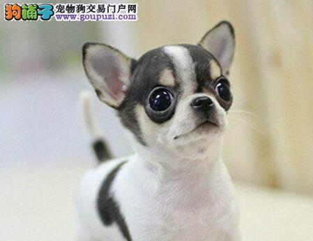 杭州专业繁殖基地出售吉娃娃幼犬 超小体大眼睛苹果头