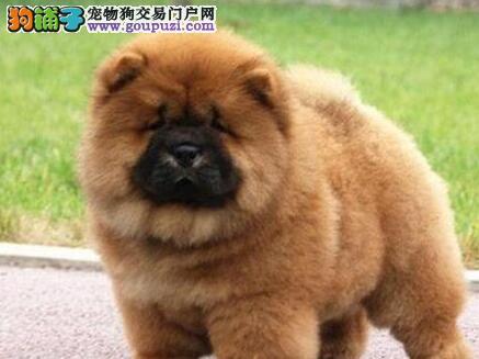 憨厚忠诚老实的西城松狮犬优惠出售 上门赠送宠物用品
