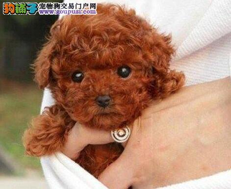 太原狗场繁殖出品相佳血统纯的贵宾犬 签订售后协议书