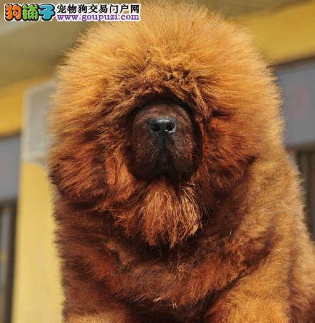 出售纯种原生态铁包金藏獒幼犬