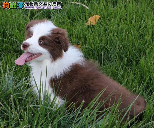 郑州自家繁殖的纯种边境牧羊犬找主人郑州地区可包邮