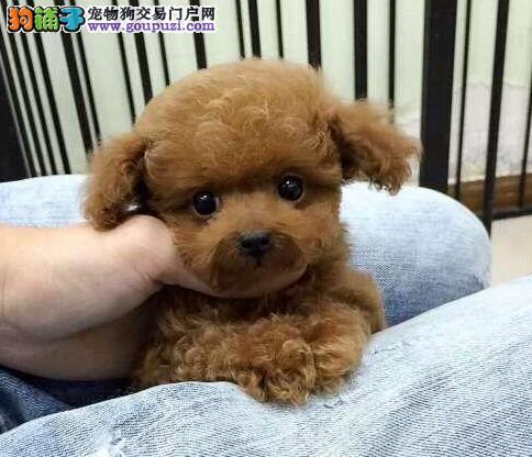 杭州犬舍出售娃娃脸韩系泰迪犬 健康质保终身售后