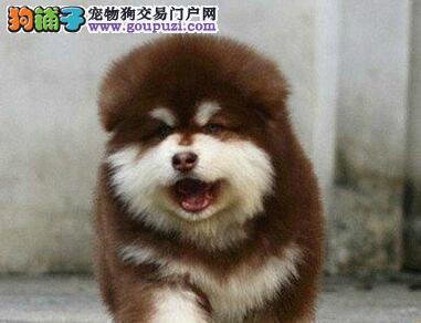 真正的双十字阿拉斯加雪橇犬出售 欢迎来南京犬舍购买