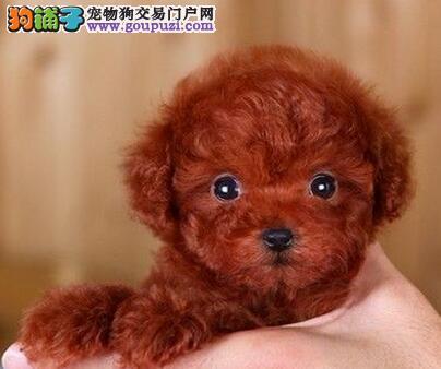 韩国引进萌系佛山泰迪犬出售 随时电话咨询服务24小时