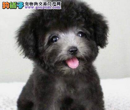 CKU犬舍认证遂宁出售纯种泰迪犬全国当天发货