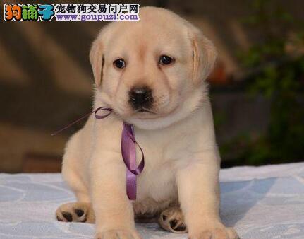多种颜色的赛级拉布拉多幼犬寻找主人期待来电咨询