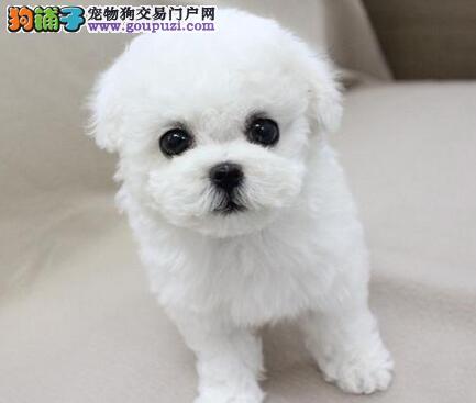 纯种卷毛比熊犬低价促销 天津地区购买可送赠品