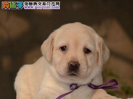 珠海纯种温顺守家拉布拉多导盲犬正在出售 聪明可爱