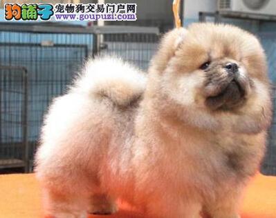 衡阳大型犬舍出售憨厚的松狮犬体格健壮性格活泼