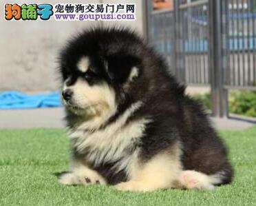 齐齐哈尔犬舍低价热销 阿拉斯加犬血统纯正全国当天发货