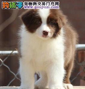 高智商的纯种边境牧羊犬幼犬出售