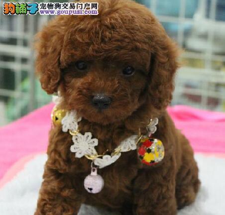 赛级贵宾犬、高雅富贵真正地位身份的象征
