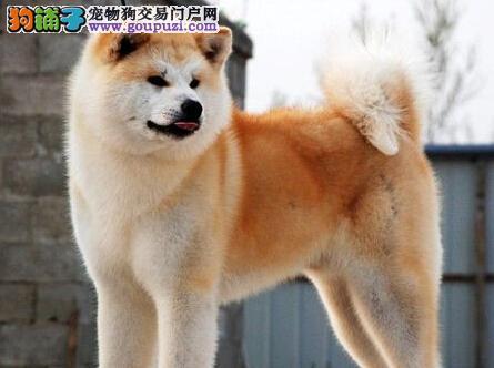 济南基地直销日系秋田犬毛色亮丽驱虫已做完