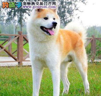 福州大型犬舍低价热卖极品秋田犬欢迎您的光临