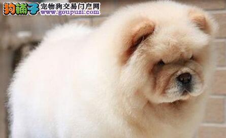 肉嘴和美系松狮幼犬低价出售 绍兴的朋友直接上门选购