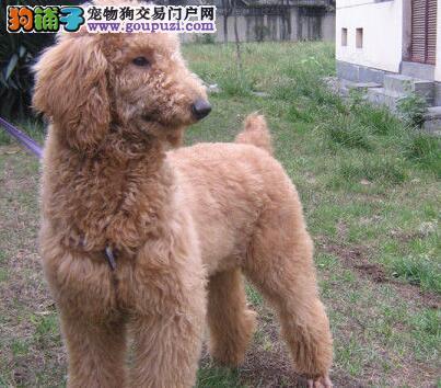 极品正宗韩系贵宾犬特价转让 欢迎来福州当面考察