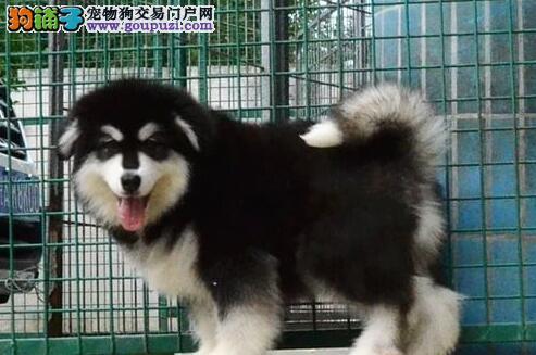 双十字阿拉斯加雪橇犬哈尔滨大型狗场出售 价格优惠