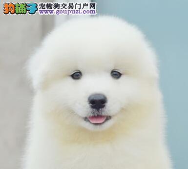 西安最大的萨摩耶基地 完美售后微信咨询视频看狗