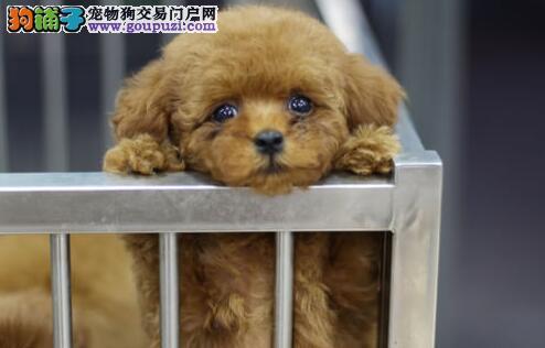 纯种绍兴泰迪幼犬低价出售 保健康纯种 售后假一赔十