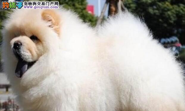 出售松狮颜色齐全公母都有质量三包完美售后