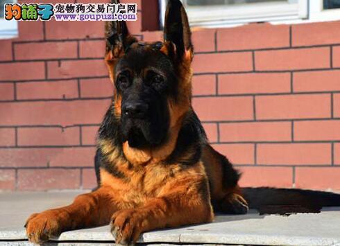 西安家养大骨架品相好的德牧宝宝转让 上门看狗可商量