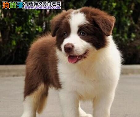 上海出售自己的边境牧羊犬纯种边牧幼犬公母全有可挑选