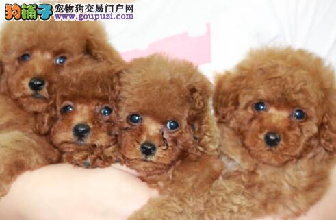 优秀韩国血统泰迪犬西安狗场直销中 国外引进假一罚百