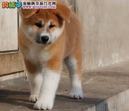 热销秋田犬幼犬、专业繁殖血统纯正、诚信经营保障