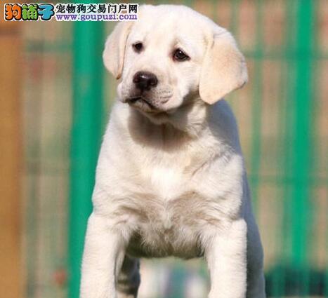 绍兴犬舍出售顶级品质的拉布拉多犬 疫苗和驱虫已做完