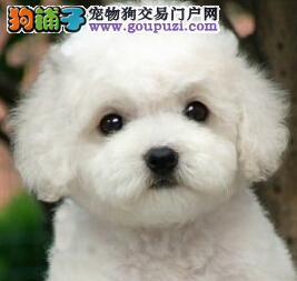 娃娃脸纯种白色比熊宝宝石家庄出售 大眼睛苹果脸