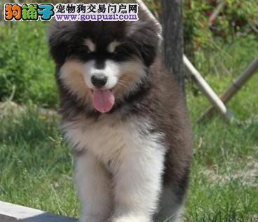 重庆哪里有卖阿拉斯加幼犬重庆阿拉斯加幼犬包纯种