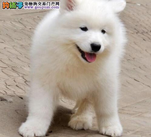 萌萌哒萨摩渝中特价出售 健康第一售后无忧好礼不断