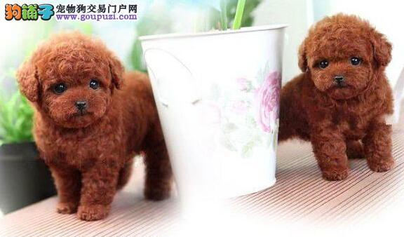 超小体活泼可爱的常州泰迪犬找新家 求好心人士收留犬