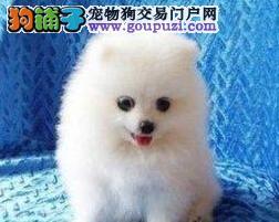 家养多只天津博美犬宝宝出售中签协议上门选