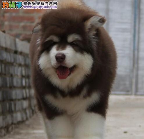 够霸气巨型熊版阿拉斯加犬石家庄出售 在乎品质的找我