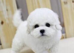 低价出售国外引进大眼睛甜美脸型比熊幼犬