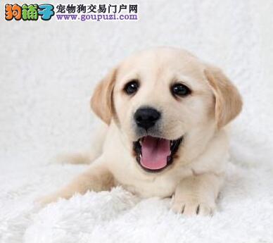 南宁大型犬舍直销出售顶级优秀拉布拉多犬 已做好驱虫