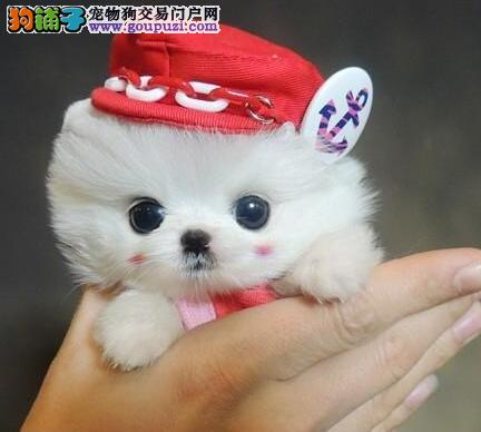 纯种球型博美幼犬 可爱至极 纯正血统 白色黄色