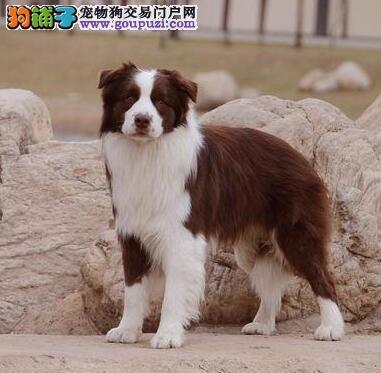专业正规犬舍热卖优秀的边境牧羊犬提供护养指导