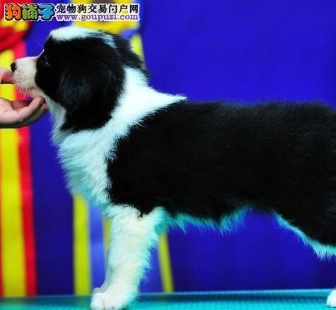赛级品质武汉边境牧羊犬特价出售 可办理血统证书芯片